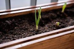 El cultivar un huerto y horticultura cebollas verdes crecientes en una caja en una terraza en la ciudad imagenes de archivo