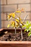 El cultivar un huerto y horticultura uvas de niña crecientes en una caja en una terraza en la ciudad imagen de archivo