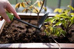 El cultivar un huerto y horticultura uvas de ni?a crecientes en una caja en una terraza en la ciudad foto de archivo libre de regalías