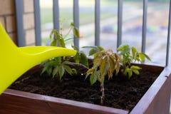 El cultivar un huerto y horticultura uvas de ni?a crecientes en una caja en una terraza en la ciudad fotos de archivo libres de regalías