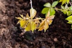 El cultivar un huerto y horticultura uvas de ni?a crecientes en una caja en una terraza en la ciudad imagenes de archivo