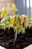 El cultivar un huerto y horticultura uvas de ni?a crecientes en una caja en una terraza en la ciudad imagen de archivo