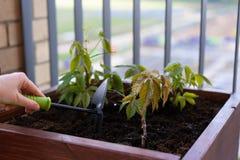 El cultivar un huerto y horticultura uvas de ni?a crecientes en una caja en una terraza en la ciudad fotografía de archivo