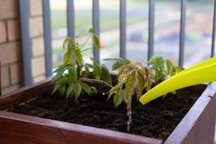 El cultivar un huerto y horticultura uvas de ni?a crecientes en una caja en una terraza en la ciudad foto de archivo