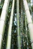 El cultivo de bambú, bambú abre una sesión el crecimiento completo, produ de madera denso fotografía de archivo libre de regalías