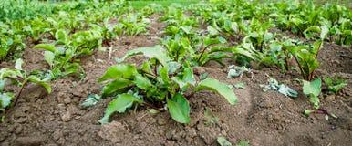 El cultivo de la remolacha roja en la tierra Fotografía de archivo libre de regalías