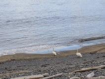 El cupé de nadó y pequeño polluelo que caminaba en la orilla de mar con los guijarros, hornstrandir de Islandia fotos de archivo libres de regalías