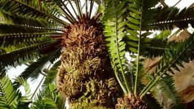 El Cycad pertenece a una familia que proporcionó ciertamente la comida para los dinosaurios Es familias de plantas muy antiguas,  fotografía de archivo libre de regalías