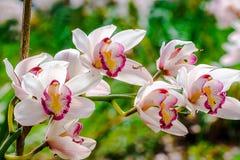 El cymbidium blanco es una orquídea fotos de archivo
