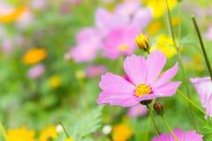 El día agradable y el cosmos agradable de las flores coloridos en campo pican el jardín de la naturaleza de las flores de la marg imagen de archivo libre de regalías