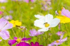 El día agradable y el cosmos agradable de las flores coloridos en campo pican el jardín de la naturaleza de las flores de la marg foto de archivo libre de regalías