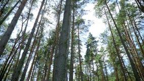 El día brillante en rayos soleados del bosque conífero hace su manera a través de pinos altos almacen de video