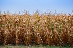 El día de verano destaca el campo agrícola, que está creciendo en filas aseadas, maíz alto, maduro, amarillo, dulce Foto de archivo libre de regalías