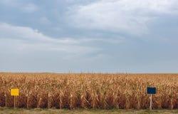 El día de verano destaca el campo agrícola, que está creciendo en filas aseadas, maíz alto, maduro, amarillo, dulce Imagen de archivo libre de regalías