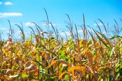 El día de verano destaca el campo agrícola, que está creciendo en filas aseadas, maíz alto, maduro, amarillo, dulce Imágenes de archivo libres de regalías