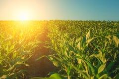 El día de verano destaca el campo agrícola, que está creciendo en filas aseadas, maíz alto, verde, dulce Foto de archivo