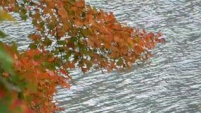 El día ventoso, árbol colorido del rojo que sopla, anaranjado y amarillo de arce se va sobre el lago almacen de video