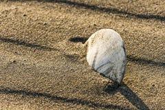 El dólar de arena se sienta en la arena de una playa Foto de archivo libre de regalías