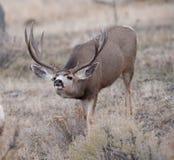 El dólar grande de los ciervos mula coge en olor imágenes de archivo libres de regalías