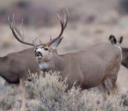 El dólar grande de los ciervos mula coge en olor imagenes de archivo