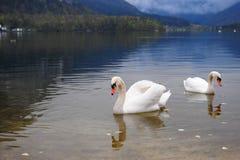 El dúo hermoso del cisne en el paisaje de Hallstatt, Austria foto de archivo libre de regalías