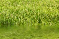 El daño por la inundación en campo maduro del arroz Fotos de archivo