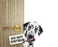 El dalmatian feliz mira a escondidas hacia fuera de detrás la puerta Aislado en blanco foto de archivo libre de regalías