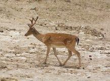 El Dama del Dama de los ciervos en barbecho camina a través de un valle de la montaña imágenes de archivo libres de regalías