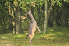 El Dama masculino del Dama de los ciervos en barbecho se levanta derecho las piernas traseras Imágenes de archivo libres de regalías