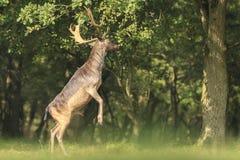 El Dama masculino del Dama de los ciervos en barbecho se levanta derecho las piernas traseras Imagen de archivo libre de regalías