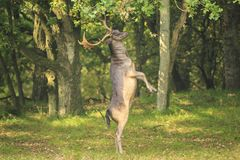 El Dama masculino del Dama de los ciervos en barbecho se levanta derecho las piernas traseras Foto de archivo libre de regalías