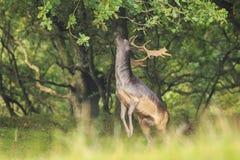 El Dama masculino del Dama de los ciervos en barbecho se levanta derecho las piernas traseras Foto de archivo