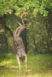 El Dama masculino del Dama de los ciervos en barbecho se levanta derecho las piernas traseras Fotografía de archivo