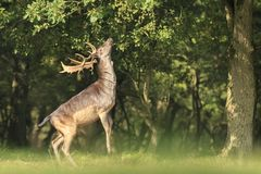 El Dama masculino del Dama de los ciervos en barbecho se levanta derecho las piernas traseras Imagen de archivo