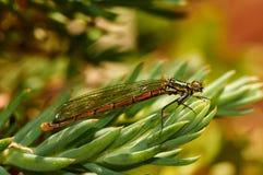 El damselfly rojo Zygoptera de la libélula come la presa en hierba foto de archivo libre de regalías