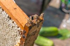 El ¡de Ð pierde encima de la opinión las abejas de trabajo Foto de archivo libre de regalías