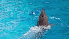 El delfín hace girar Hulahup en la nariz