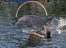 El delfín salta a través de aro en dominante largo Fotos de archivo libres de regalías