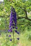 El delfinio es una flor perenne en el jardín foto de archivo
