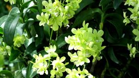 El Dendrobium verde o la orquídea verde florece debajo de la sombra de la luz y de la sombra metrajes