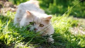 El depredador beige del gato del país caza en la hierba, consigue listo y salta en el sol, cámara lenta metrajes