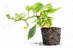 El desarrollo sano del pepino planta el suelo Foto de archivo