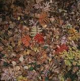 El deshoje en otoño Foto de archivo libre de regalías