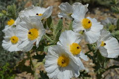 El desierto florece la amapola espinosa Foto de archivo