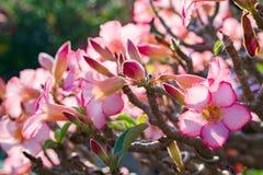 El desierto hermoso subió flor en el jardín con brillo del sol de la mañana También sepa como flores falsas de la azalea, flor de imágenes de archivo libres de regalías