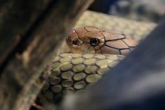 Cobra real Fotografía de archivo libre de regalías