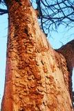 El detalle de la lejíadel alinac de Å cerca de la ciudad de Smederevo en Serbia con los árboles viejos del roble imagen de archivo