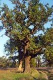 El detalle de la lejíadel alinac de Å cerca de la ciudad de Smederevo en Serbia con los árboles viejos del roble Fotos de archivo libres de regalías