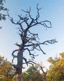 El detalle de la lejíadel alinac de Å cerca de la ciudad de Smederevo en Serbia con los árboles viejos del roble Fotografía de archivo libre de regalías