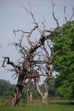 El detalle de la lejíadel alinac de Å cerca de la ciudad de Smederevo en Serbia con los árboles viejos del roble Imagen de archivo libre de regalías